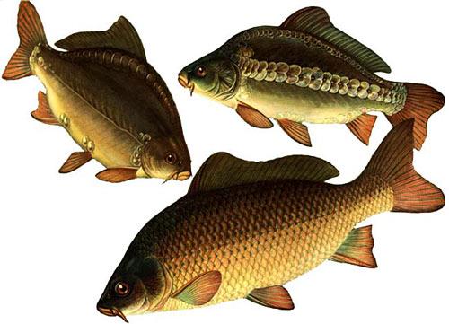 """Конкурс """" Рыба """" - Страница 2 Carp"""